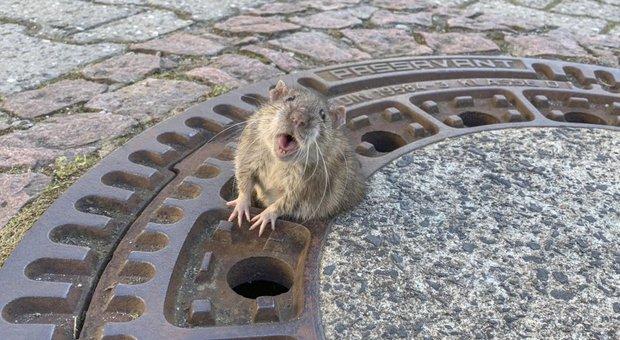 In Germania hanno salvato un ratto troppo grasso incastrato in un tombino