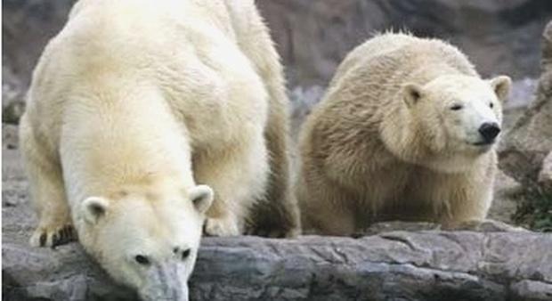 Orsi polari, in 35 anni addio al 30% degli esemplari