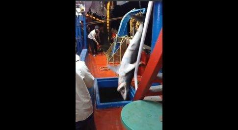 Pescatori catturano uno squalo mako: bastonato e lasciato morire nella stiva. Il video choc indigna gli animalisti