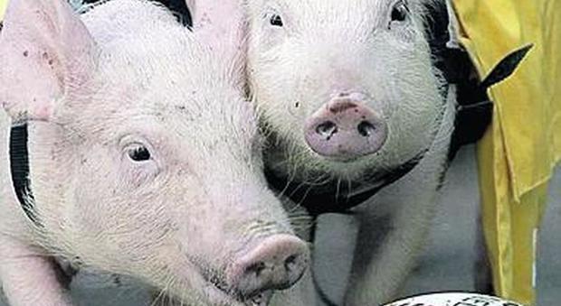 Roma, trova i maiali nella casa data in affitto: arrestato dopo la lite con la polizia