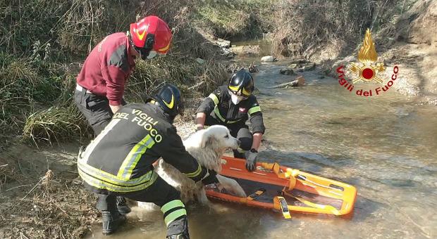 Narni Scalo, i Vigili del Fuoco salvano un maremmano caduto in un torrente.