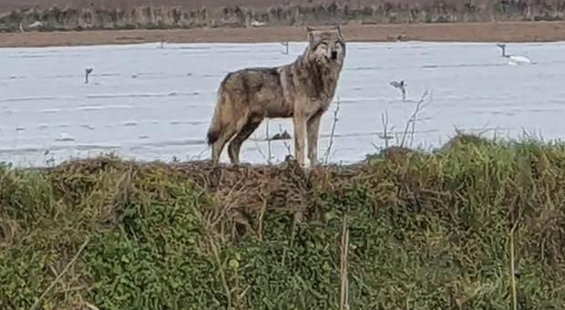 Salento, aggredita da un lupo mentre fa jogging in spiaggia: ferita una 47enne