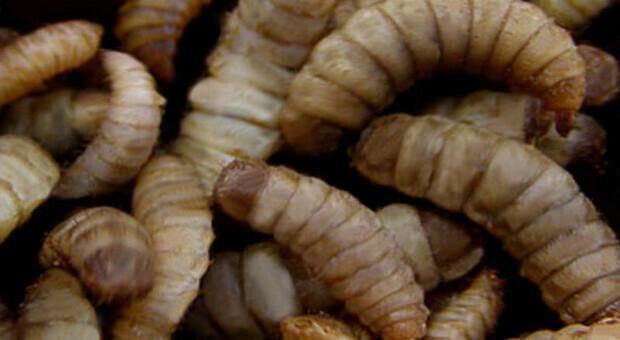 L Unione Europea ha autorizzato per la prima volta un insetto come alimento