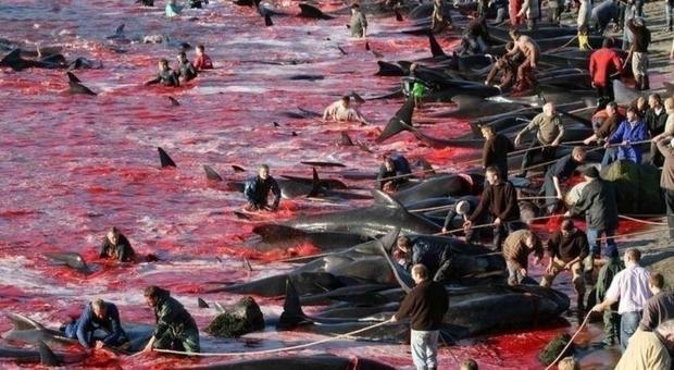 La mattanza delle balene alle Faroe Islands (immagine pubblicata da Blue Planet Society su twitter)