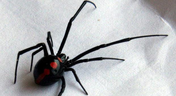 Ragno vedova nera punge un 50enne in giardino a Barletta: antidoto lo salva