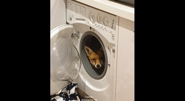 La volpe nella lavatrice (immag pubbl su Twitter da Natasha TP)