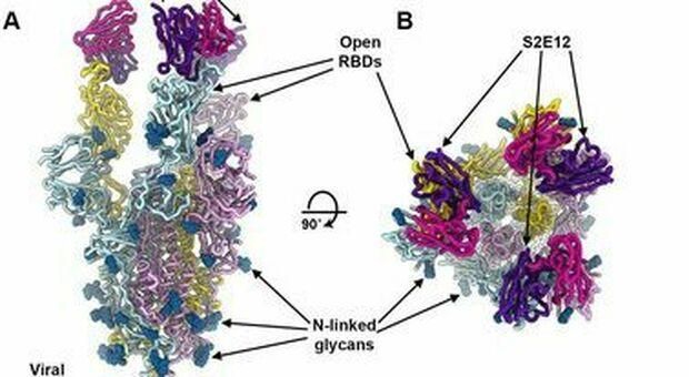 Covid, i nanoanticorpi bloccano il virus. «A breve sperimentazione  sull'uomo»