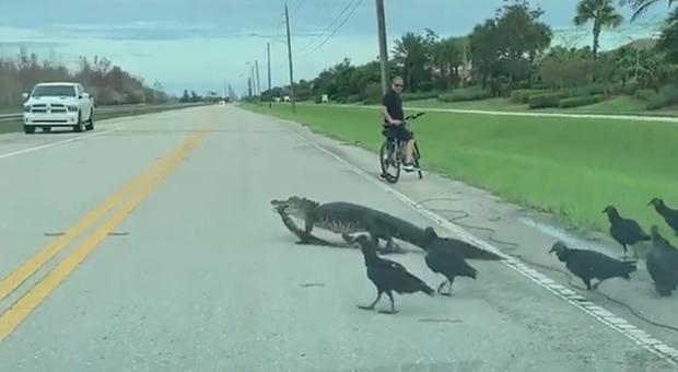L'alligatore attraversa tranquillo la strada (immagini di Denise Harris pubblicate da Fox 13)