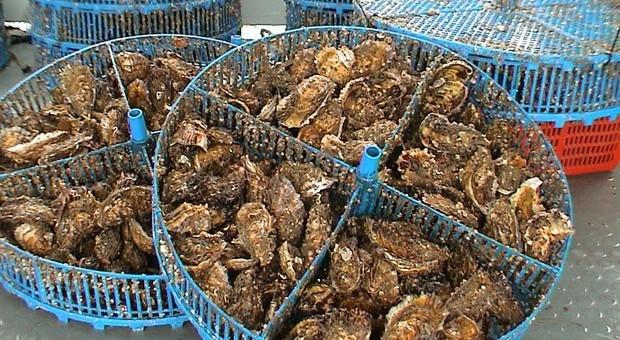 Riscossa delle ostriche italiane: in un mese richieste +20%