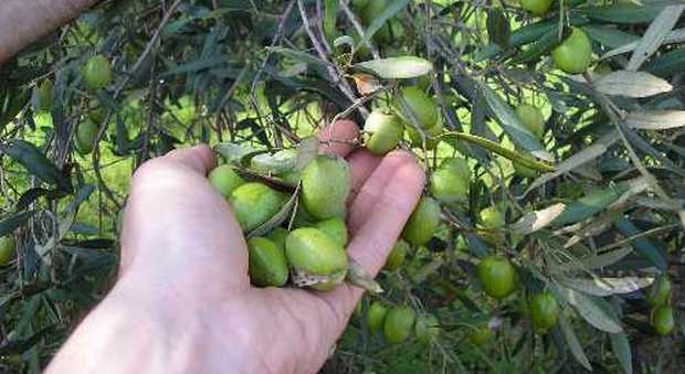 Olio d'oliva, l'anno nero: dimezzata la produzione
