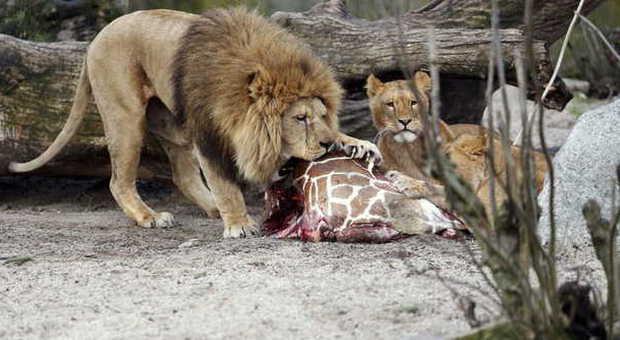 Danimarca, uccisa la giraffa Marius nello zoo. La carcassa data in pasto ai leoni
