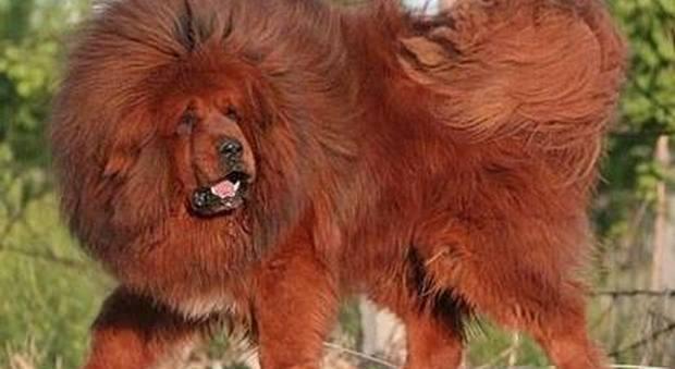 Usa, i cani dei vicini abbaiano: il tribunale dispone che vengano tagliate loro le corde vocali