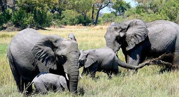 Sudafrica, bracconiere muore calpestato da un branco di elefanti