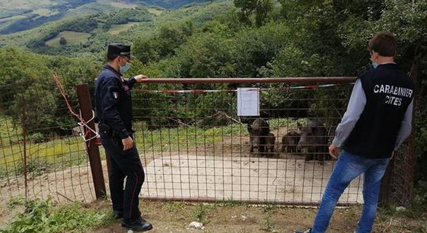 Cattura cinghiali selvatici e li alleva: 60enne denunciata