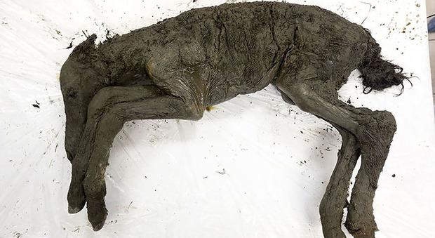 Cavallo preistorico intatto trovato in Siberia: recuperato anche il suo sangue