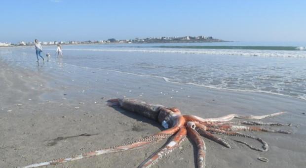 Calamaro gigante di 4 metri e 330 chili trovato su una spiaggia del Sudafrica