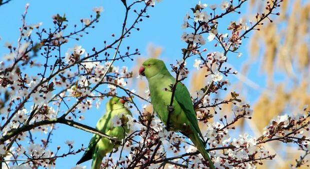 Genova città dei pappagalli , il comune comincia a censirli