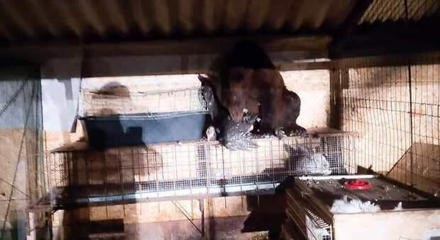 Mamma orsa e 4 cuccioli: blitz notturno nell'allevamento di faraone a Pescina