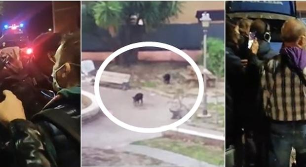 Roma, mamma cinghiale e i suoi cuccioli uccisi in un parco all'Aurelio: polizia spara agli animali VIDEO