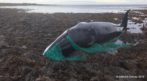 Balena incinta uccisa da una rete da pesca, i ricercatori: «Ultima vittima del massacro»
