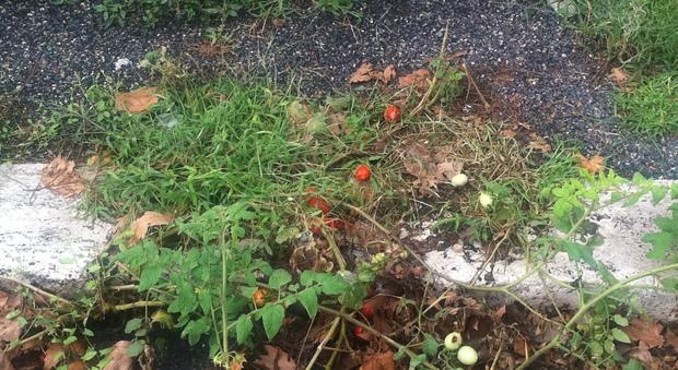Roma, al Portuense i pomodori crescono sul marciapiede