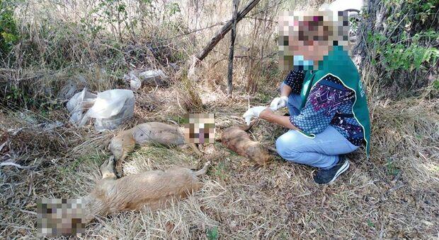 Cani uccisi e buttati via: rabbia per l'atroce fine dei cuccioli di segugio