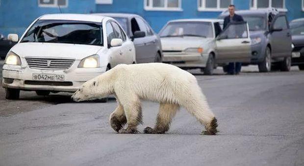 Russia, orsi polari invadono villaggio in cerca di cibo: gli abitanti si rinchiudono in casa