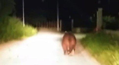 Blitz di Amarena a Trasacco, il direttore del Parco: «E' un'orsa confidente, non ha paura dell'uomo»