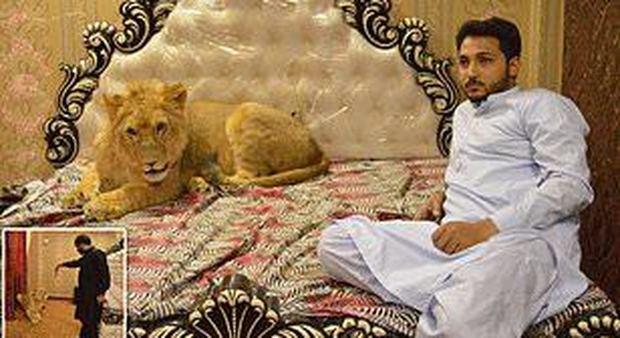 Il leone di 168 chili che vive in casa e si comporta come un cane
