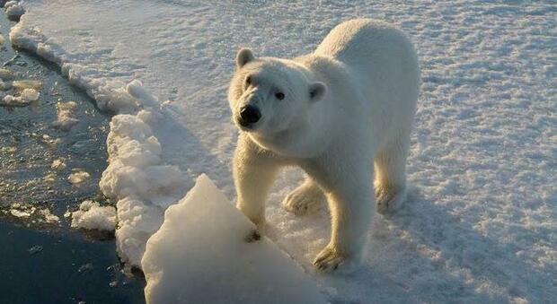 Orsi polari estinti entro la fine del secolo. (immagine pubbl da Ansa)