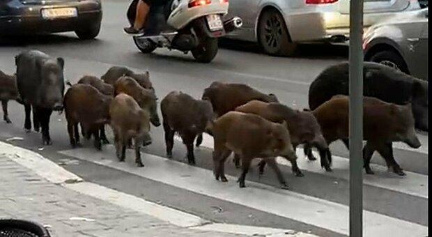 Roma, 12 cinghiali a passeggio in Via trionfale nel pomeriggio. I residenti: «Ci siamo abituati ormai vengono trattati come cani»