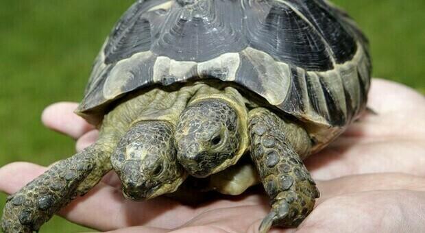Tartaruga a due teste, Janus compirà 23 anni: è record. (immagine pubbl da Ansa)