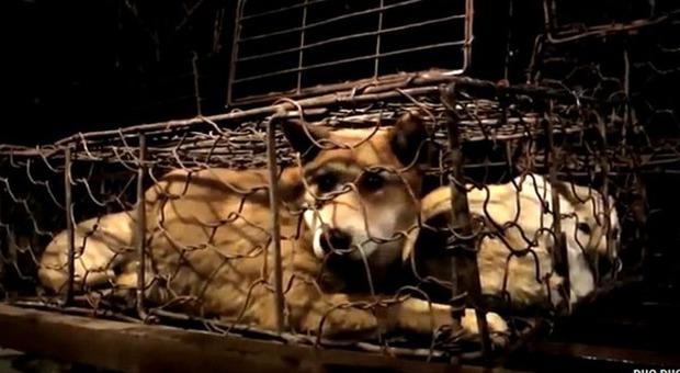 cani in gabbia pronti per essere macellati