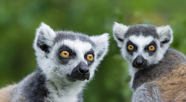 Papa Francesco suona l'allarme per le foreste, a rischio persino i lemuri del Madascar