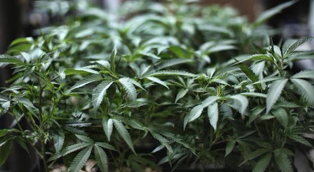 Cannabis domestica, la Corte: può fumarla soltanto il produttore