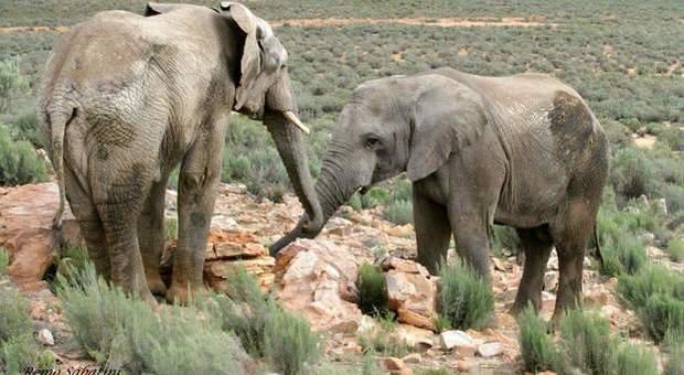 Elefanti africani allo stato selvaggio (immagine di Remo Sabatini)