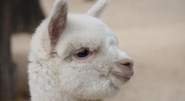 Lucca, lanciano polpette avvelenate agli alpaca (ma gli animali sono erbivori e si salvano)