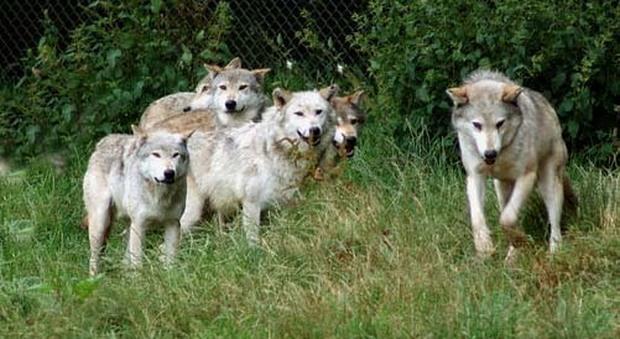 Più cani da guardia contro i lupi, Coldiretti Viterbo soddisfatta per il bando della Regione