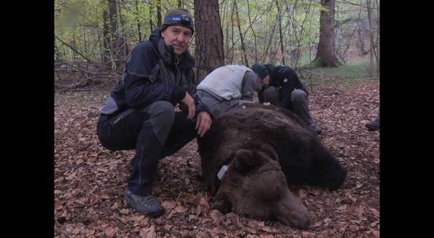 Orso M49, il veterinario Alessandro De Guelmi: «Io, a mezzo metro dall'orso. L'ho catturato, ma l'ho amato»