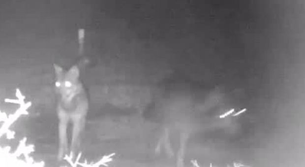 Roma, tornano i lupi nel parco di Veio: filmati tre esemplari 3579685 1648 thumbnail 1354377