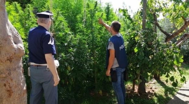 Piantagione di marijuana: arresta un'intera famiglia, dalla nonna al nipote