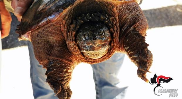 Dal laghetto spunta una tartaruga azzannatrice. In azione i Carabinieri Forestali del Nucleo Cites del Comando Regione Umbria