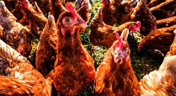 Nuova Zelanda, dopo il lockdown c'è una nuova piaga: l'invasione delle galline