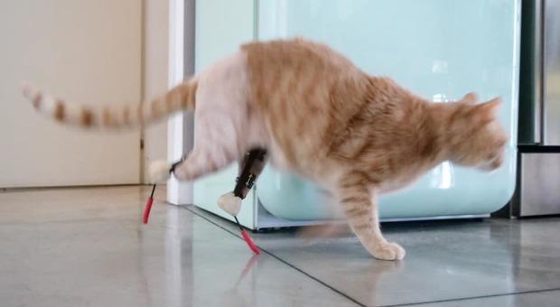 Vito come Pistorius, il gatto bionico ha due protesi al posto delle zampe