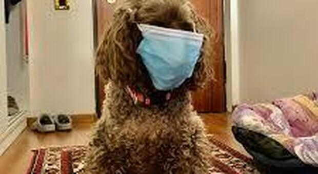 Covid, primo cane contagiato in Italia: è una barboncina di Bitonto infettata dai proprietari. Decaro: «Nessun pericolo per l'uomo»