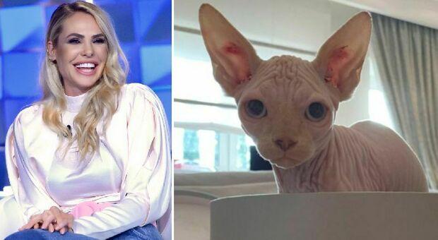 Ilary Blasi e Totti, il nuovo gatto si chiama Alfio: su Instagram le foto dello Sphynx