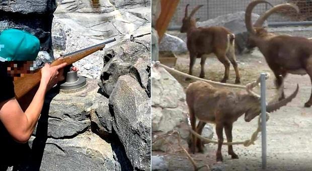 Il fucile finto piazzato dallo zoo di Berna di fronte agli stambecchi (immag pubbl da Nau.ch ecc)