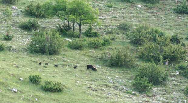 Frosinone, anno d'oro per gli orsi marsicani: record di nascite, la specie ripopola i monti