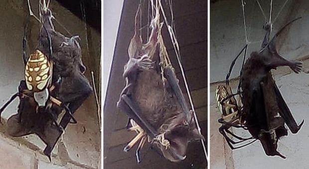 Il ragno cattura un pipistrello: l'incredibile video che arriva dal Texas