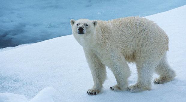 Norvegia, gli orsi polari mangiano i delfini: l'effetto choc del riscaldamento globale